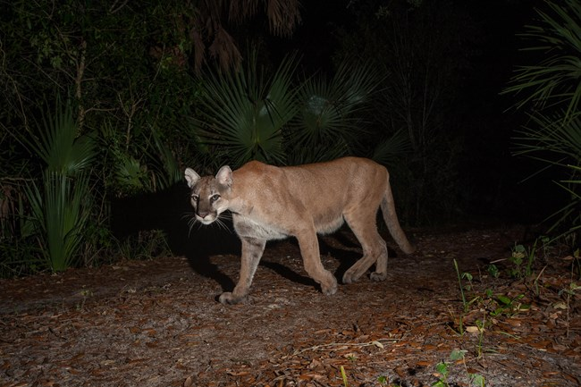 A mountain lion walks towards the camera in this night glimpse of the elusive cat.
