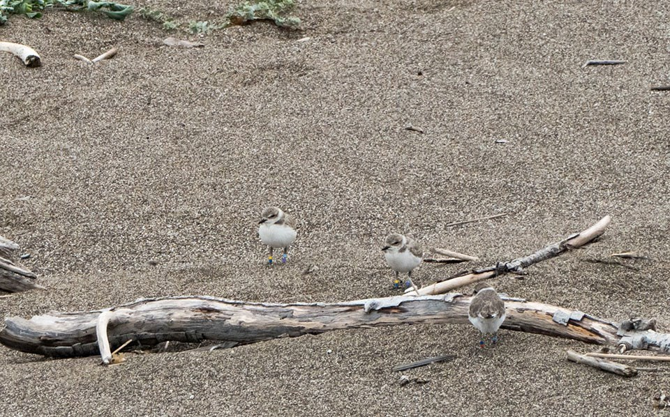Three plovers with colored leg bands stand around a beach log