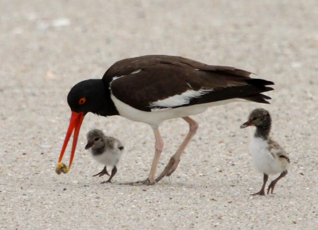 American Oystercatcher with chicks