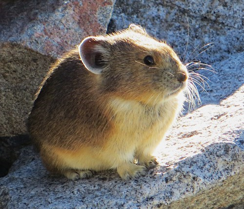 A small brown-furred mammal with round ears and bright black eyes perches on a rock.