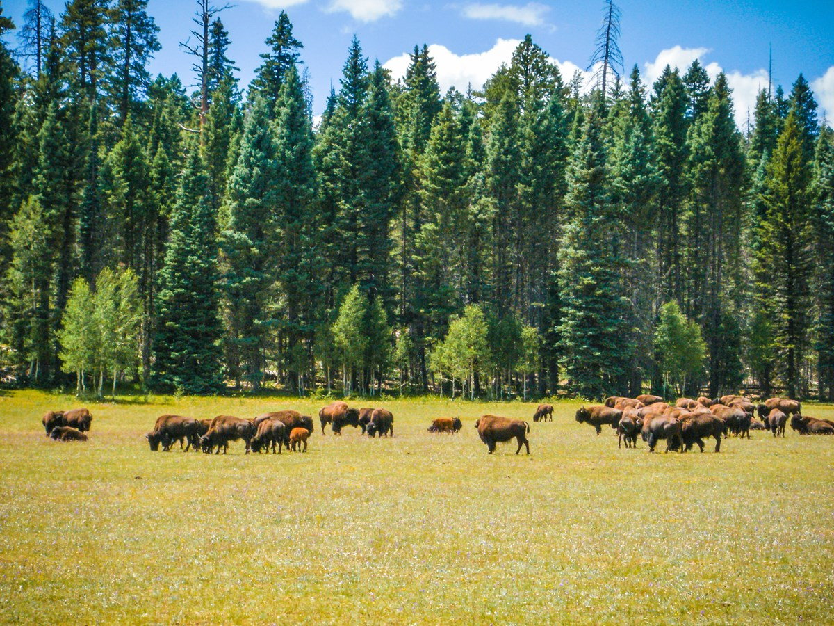 A herd of fifty bison grazing in a grassy meadow with a lush forest behind them.