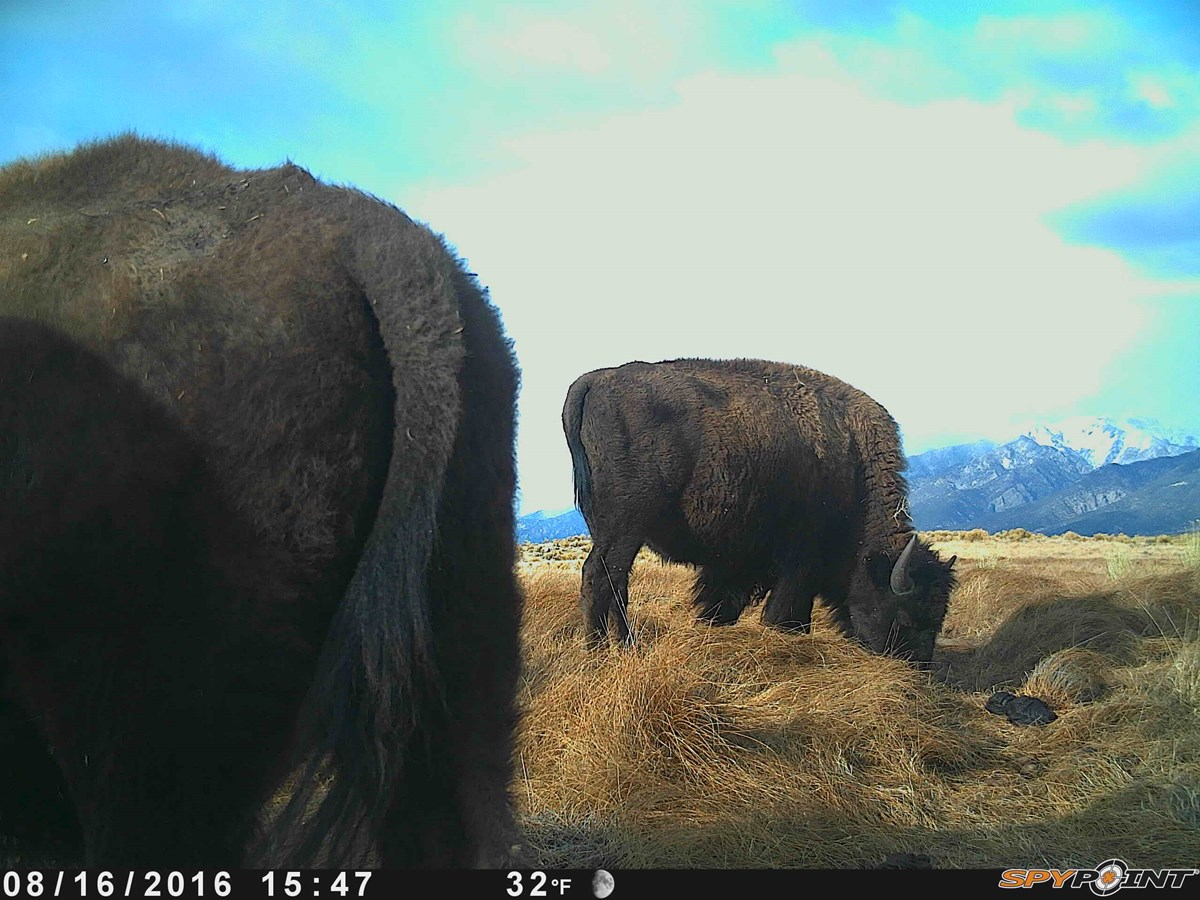 a wildlife camera capture of the hind quarters of one bison in the foreground and another bison in the background