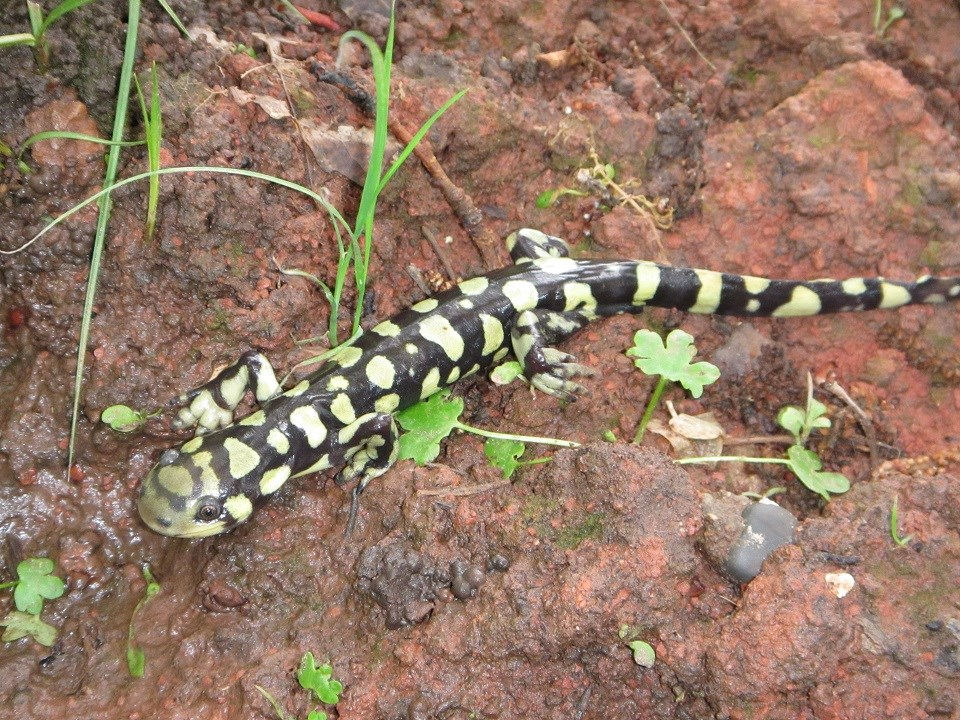 Black and green spotted salamander on rocky ground