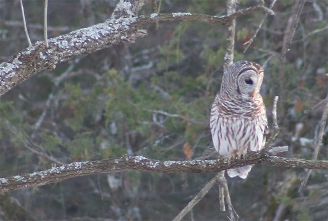 Barred Owl at Pea Ridge National Military Park