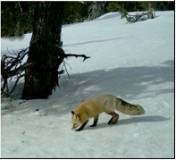 A red fox with a bushy tail
