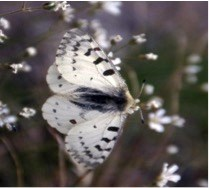 A white butterfly with black streaks