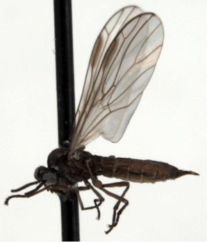 A black insect with large transparent wings