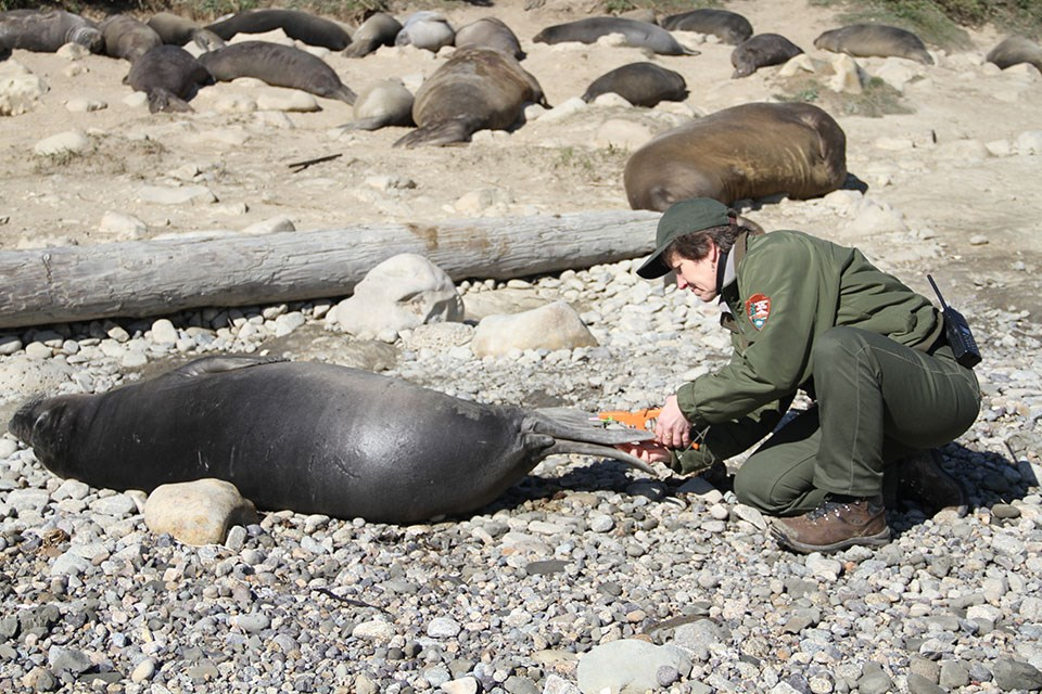 Photo of a NPS staff tagging a weaned northern elephant seal pup