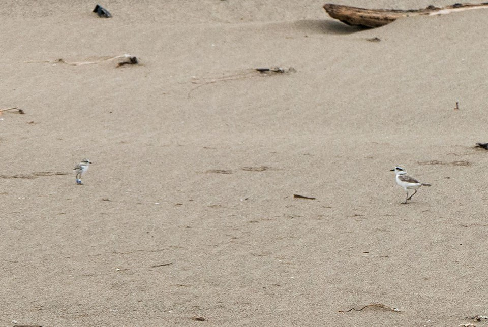 Plover parent walking toward a chick on an open stretch of beach