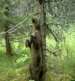 a bear rubs up against a tree in the forest