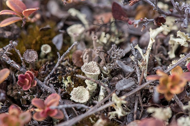 closeup of tiny lichens shaped like little cups