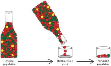 Diagram shows how an original population goes through a bottlenecking event and results in a surviving population.