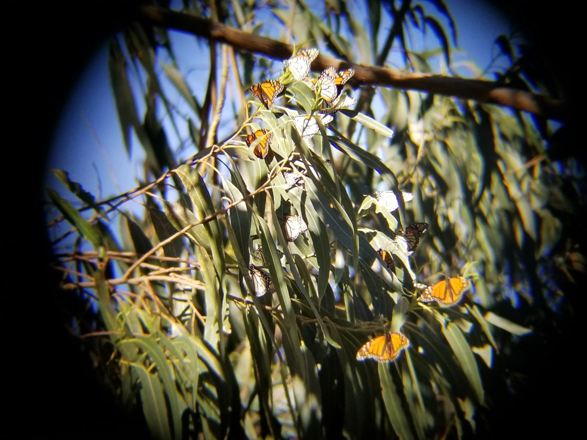 Veiw through a scope of several monarch butterflies on eucalyptus leaves