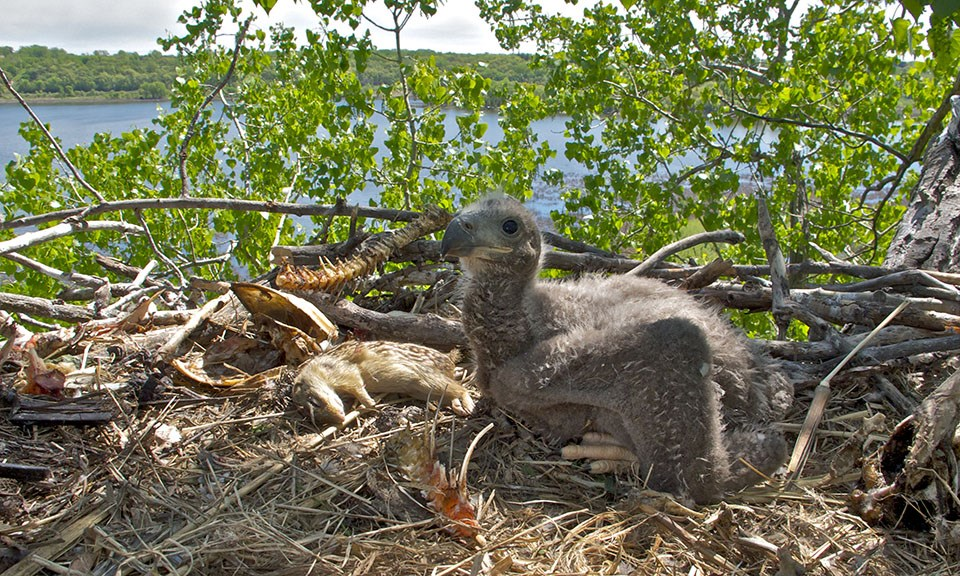 Eagle nestling with food items in nest.