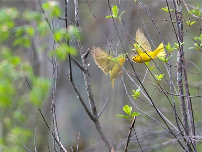 Yellow Warblers at Cuyahoga Valley National Park