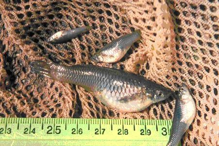 Close up of an assortment of small and large mosquitofish in a fishing net alongside a ruler to show varying scale.