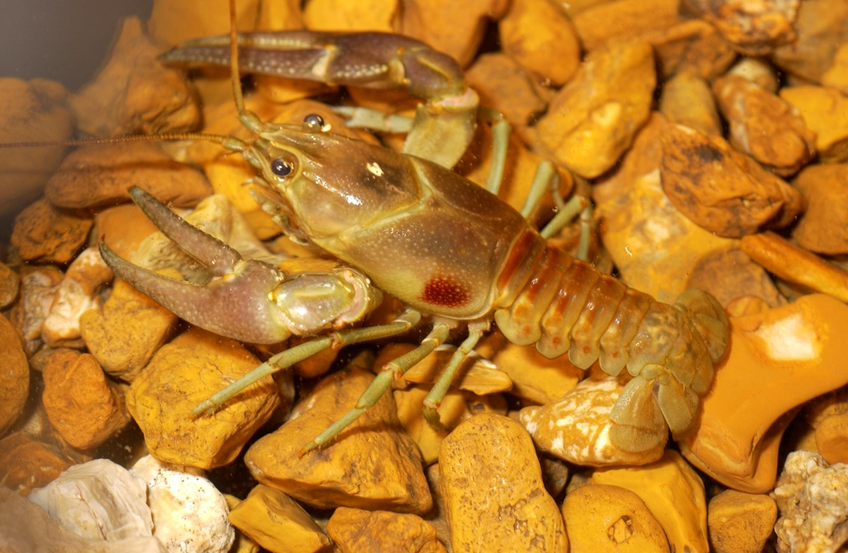 A rusty crayfish, identified by the red patches on its carapace, sitting on a rock bed.