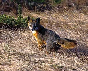 Island fox, 1999, Channel Islands National Park.