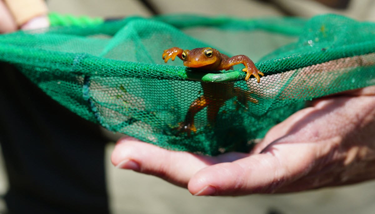 A California Newt inside a net being held in a ranger's hand