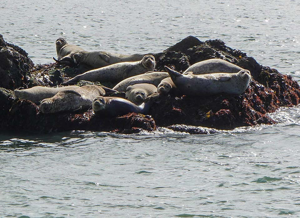 Several harbor seals hauled out on a rock at Point Bonita
