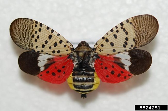 Spotted lanternfly with wings open showing namesake spots