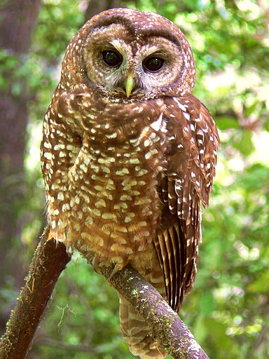 Northern spotted owl perches on branch