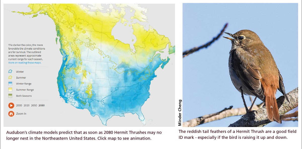 Graphic showing a map of Hermit Thrush range in 2080 and the back of a perching Thrush.