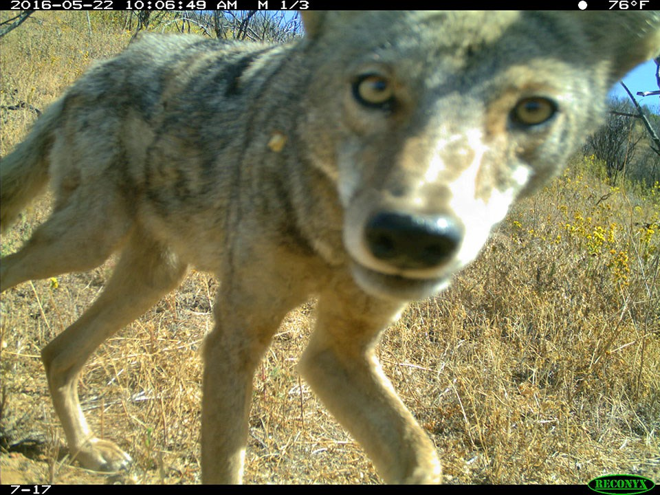 Camera trap image of a coyote looking into the camera