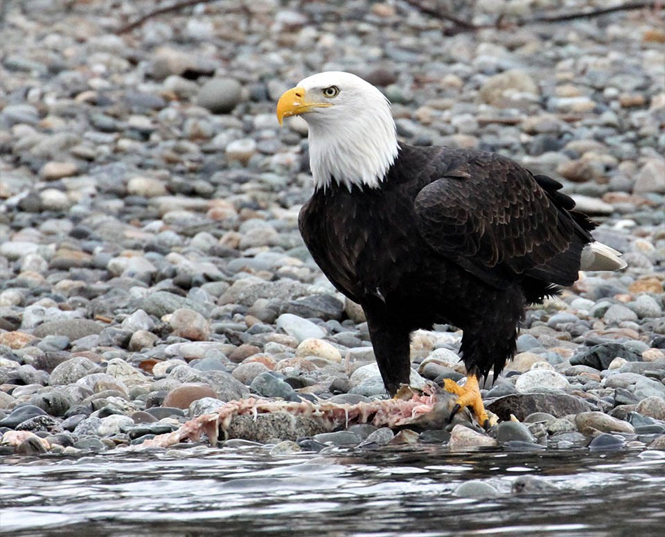 Bald eagle with a fish carcass at the edge of a river