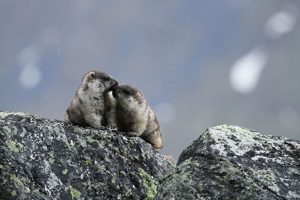 two marmots perched on a large rock