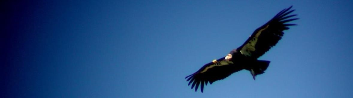 A condor flying wild and free.
