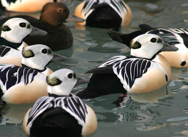 A flock of Steller's eiders