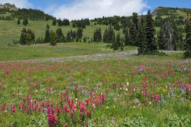 Lupine, paintbrush and other flowers bloom in meadow at Sunrise.
