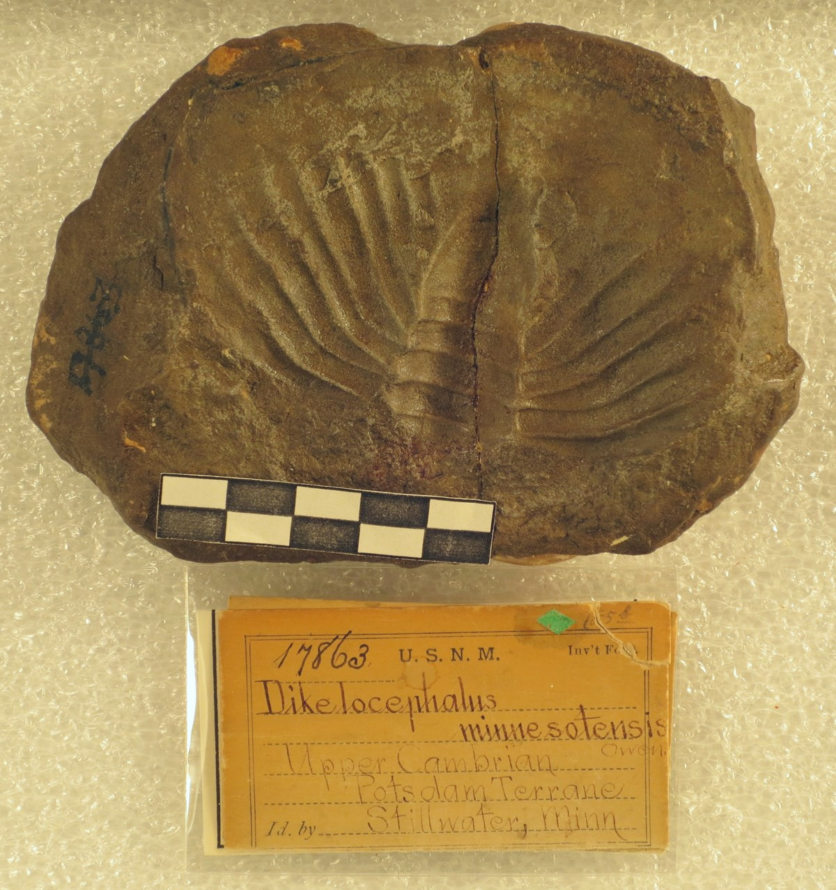 fossil trilobite with curation record card and scale bar