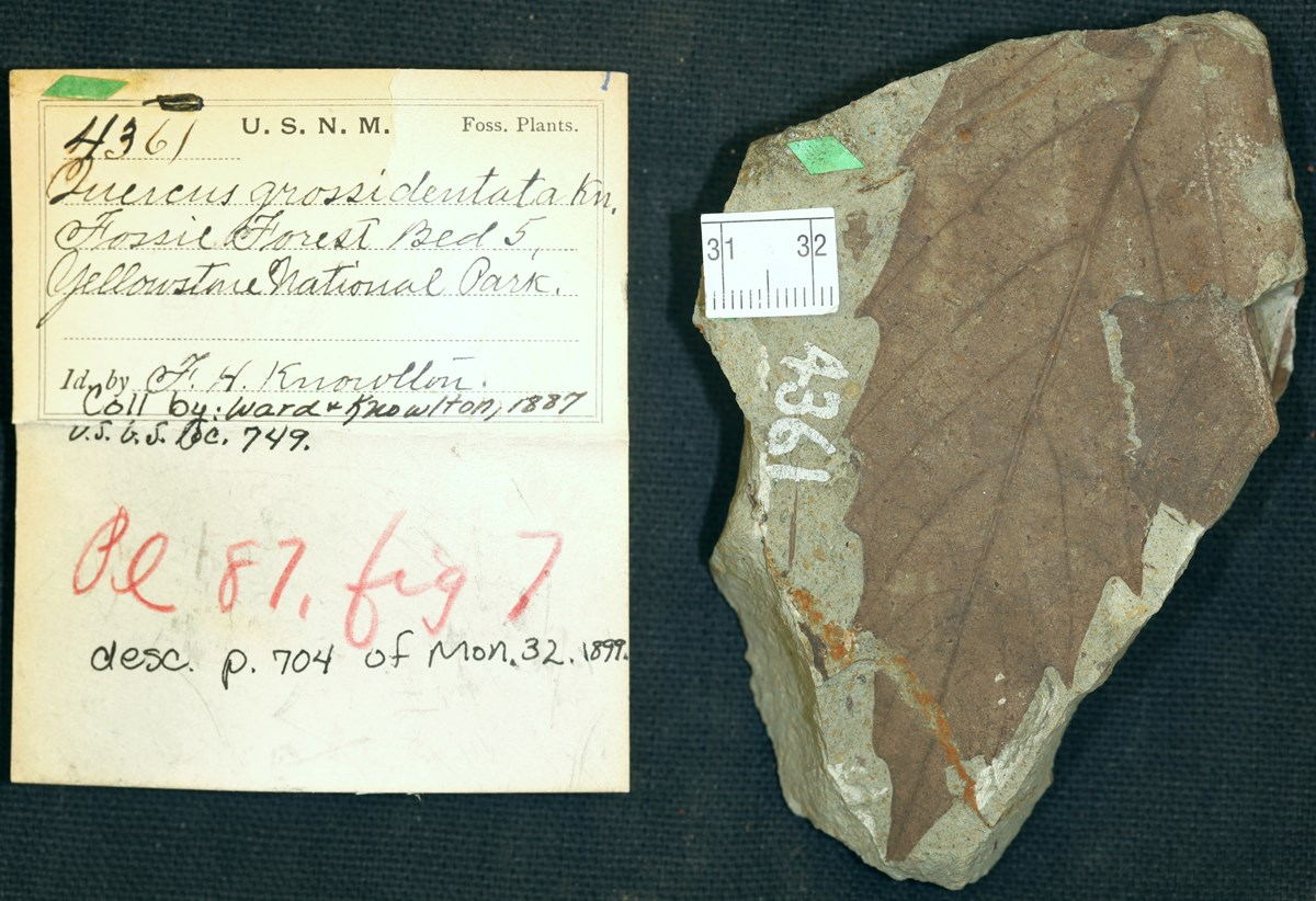 leaf fossil and curation record card