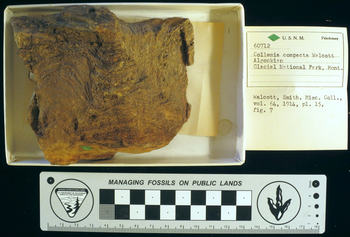 fossil Stromatolite with curation record card and scale bar