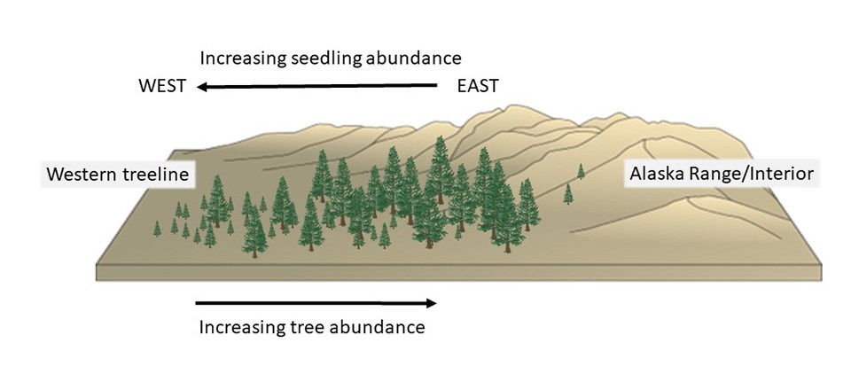 A conceptual drawing of how spruce forests are changing.