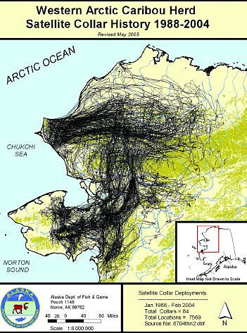 Northwest map of Alaska depicting massive migration movement of caribou in the Seward Peninsula area.