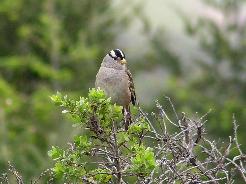 White-crowned sparrow perched atop a shrub