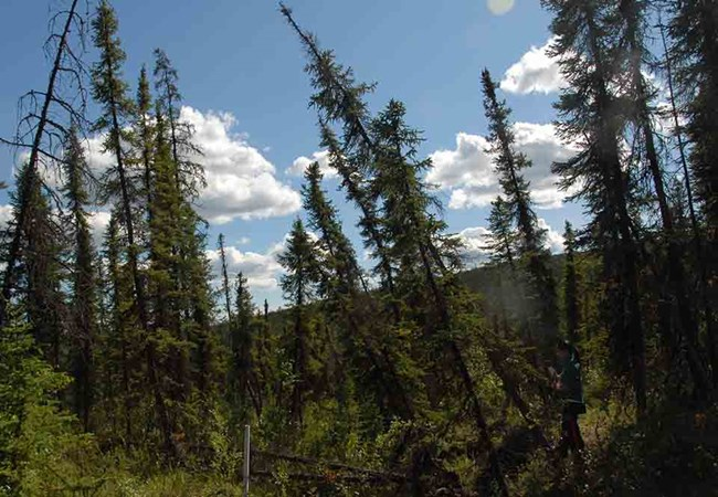 "A ""drunken forest"" of trees leaning due to the melted permafrost under them."
