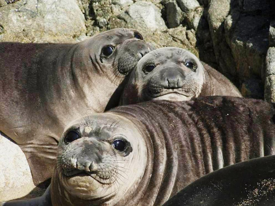 Three plump, large-eyed elephant seal pups resting their heads on each other