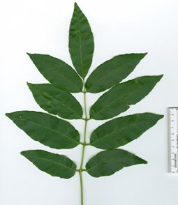 A symmetrical white ash leaf composed of 9 distinct leaflets.