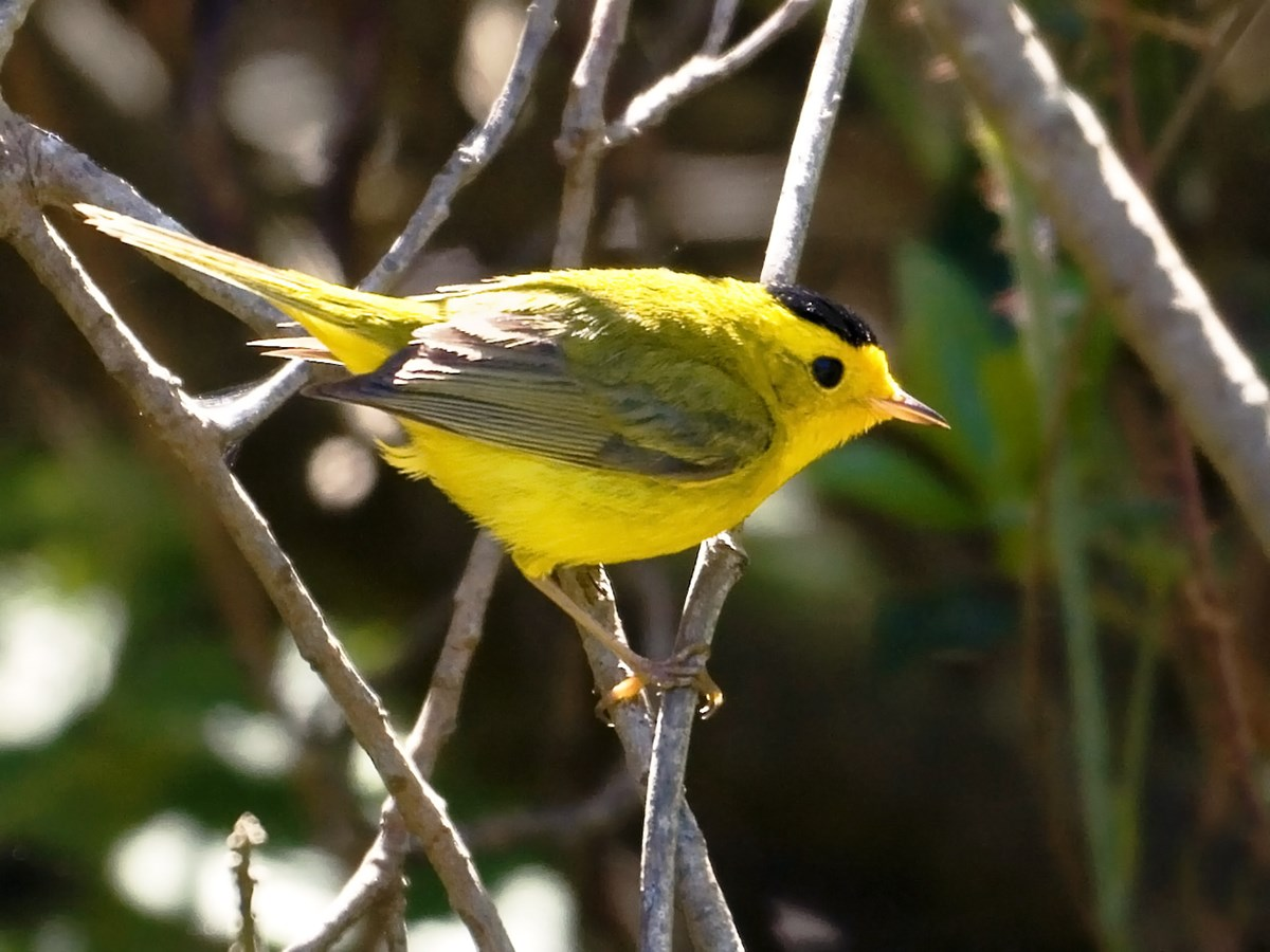 Wilsons's Warbler perches on a branch