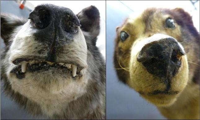 Close up images of a stuffed wolf and dog