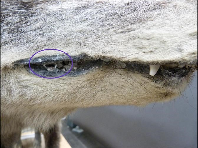A close up image of the mouth of a stuffed wolf