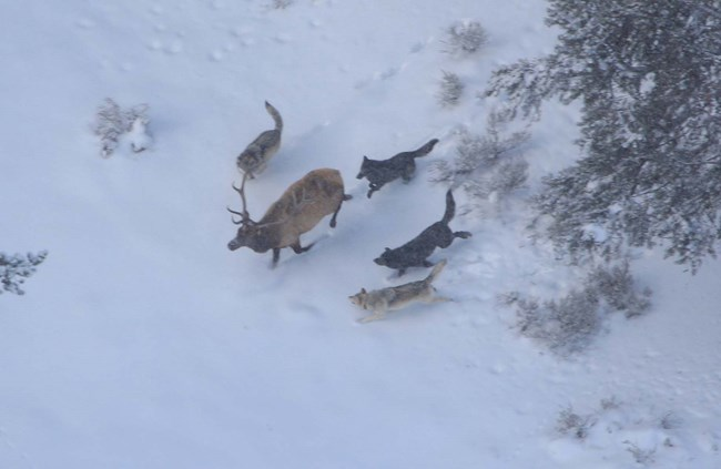 Wolves and elk