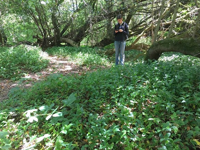 Person taking notes among an understory monoculture of small-leaf spiderwort