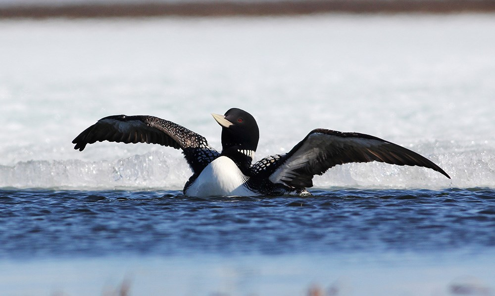 a loon spreading its wings while sitting in water