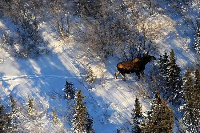 An aerial view of a moose in the snow.