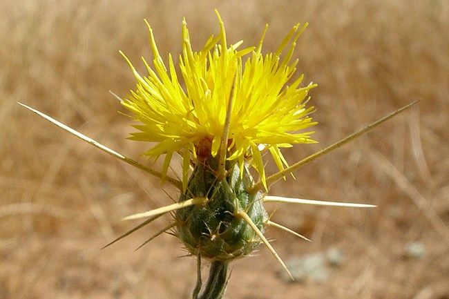 Yellow Star Thistle in flower